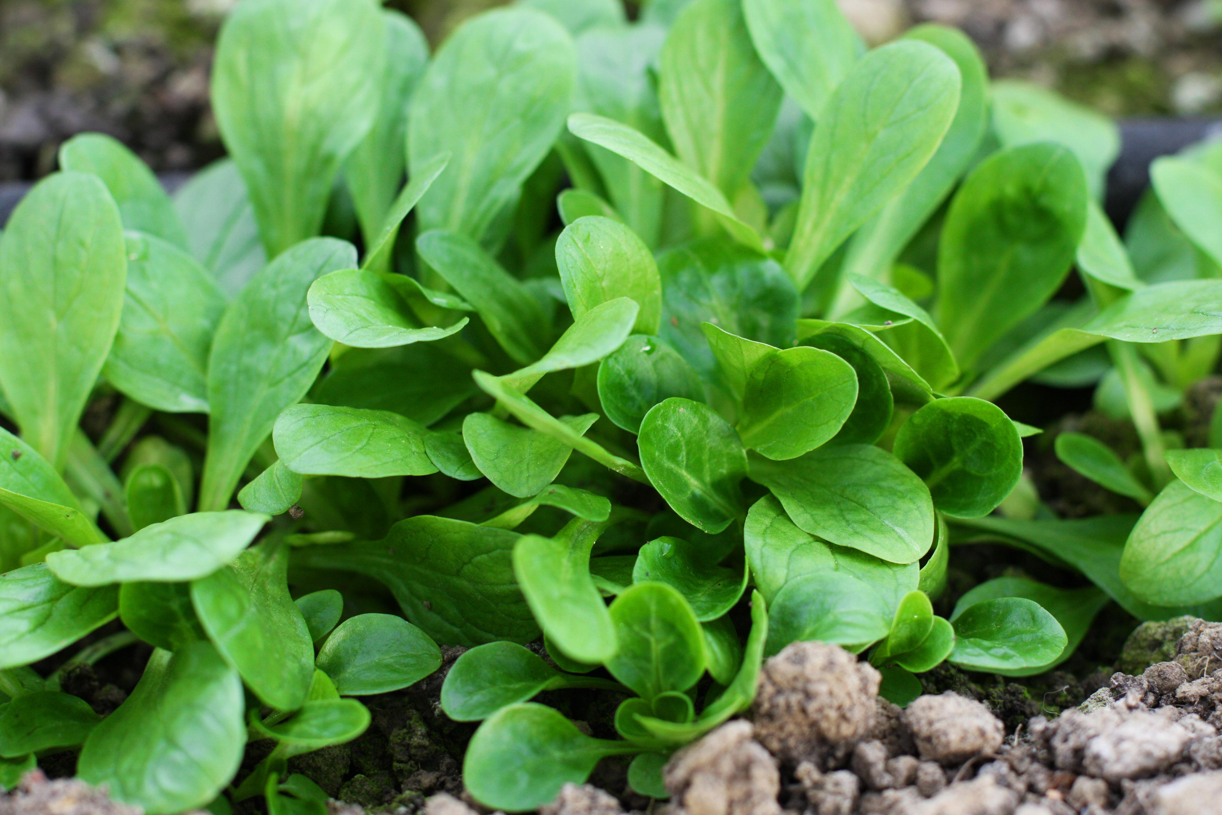 Bio-Feldsalat im 3,8 x 3,8 cm Erdpresstopf