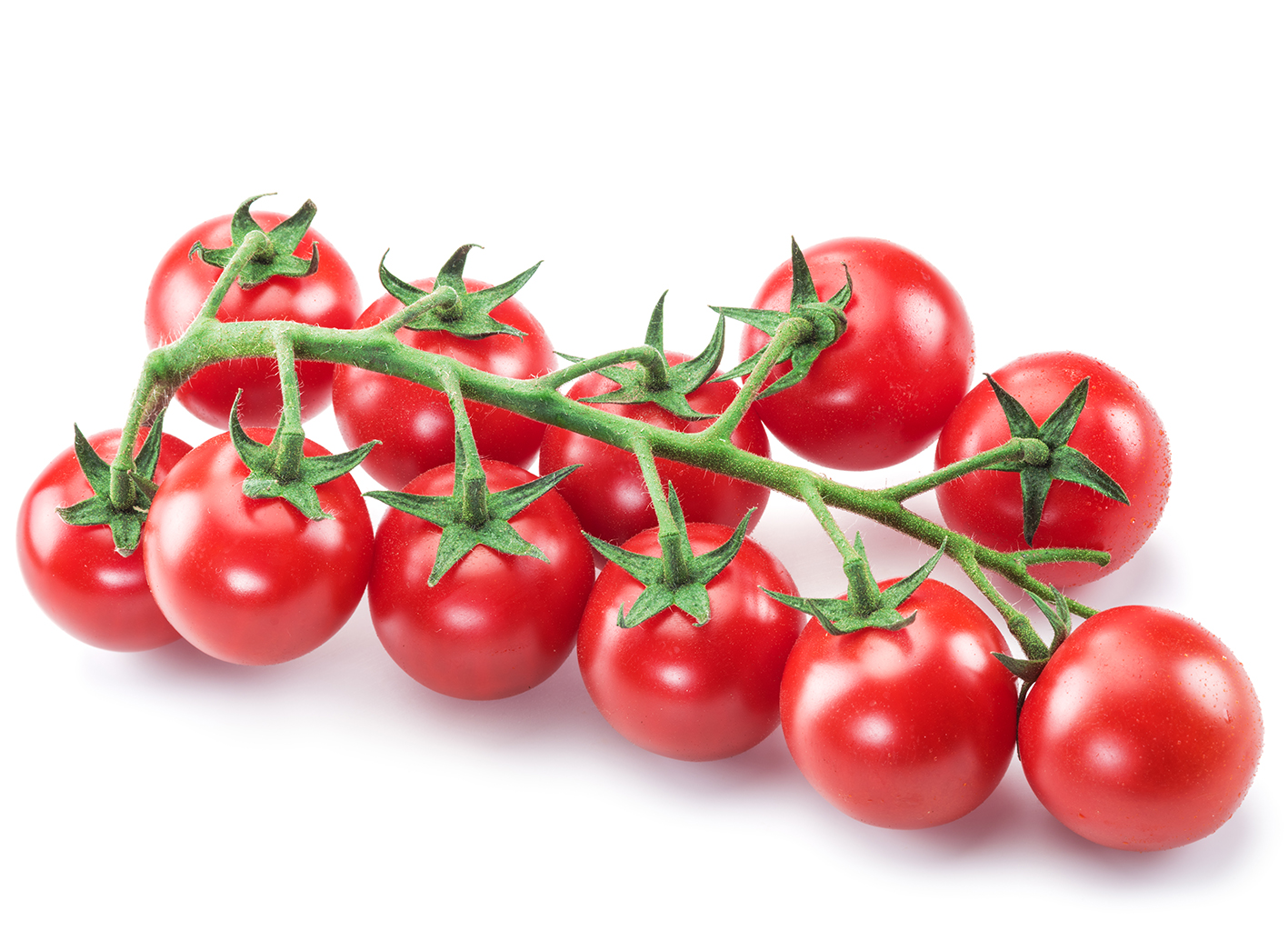 Üppige Traube der 'Cherry Trixi'-Bio-Cocktailtomate mit etwa einem Dutzend knallroten Früchten